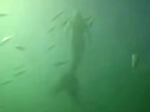 人魚のリアルな尾ひれの動きに注目! オーストラリアで撮影されたリアル・マーメイド!?