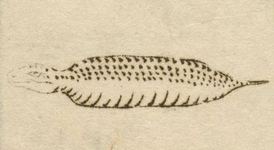 井出道貞の『信濃奇勝録』(1834年 天保5年)で、野槌の項で使用されたツチノコの挿絵