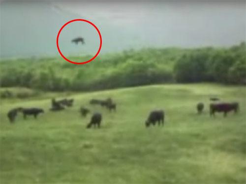 キャトルミューティレーション! 牛がUFOに吸い込まれていく映像