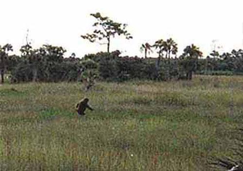 湿原を歩くスカンクエイプ