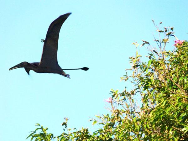 パプアニューギニアのUMA怪鳥ローペンは、翼竜の生き残りか?