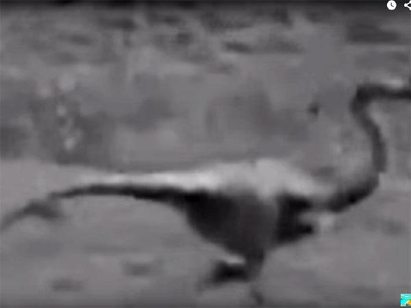 生き残った恐竜の動画! ダチョウ恐竜・オルニトミムスか?