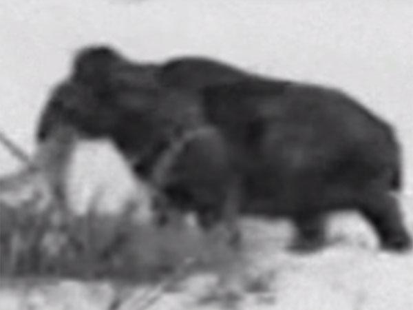 絶滅種のマンモスは生き残っていた! 驚愕映像は本物か?