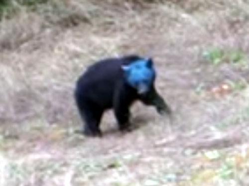 真っ青な顔のクマ! 突然変異か、新種の熊か?