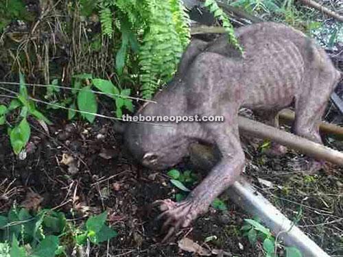 実在するゴラムか、未確認生物か? 謎の動物がマレーシアに出現!