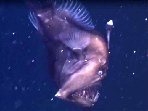 恐ろしい深海生物!ブラック・シーデビル、ラブカ、マグナピンナの驚愕映像!
