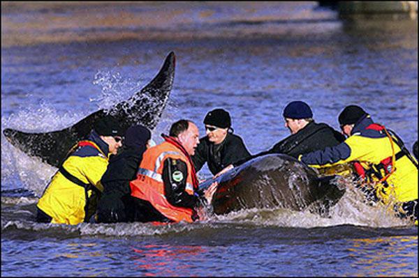 英テムズ側に迷い込んだキタトックリクジラの救出を試みるレスキュー隊