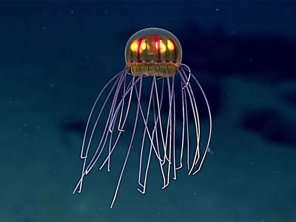 マリアナ海溝深海に新種の光るクラゲ2