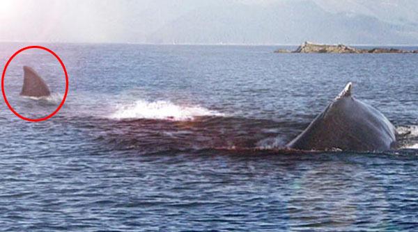 クジラを襲うメガロドン