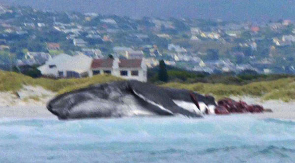 メガロドンに尾を食い千切られたクジラ