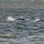 ネッシー最新写真! ネス湖の未確認生物の正体と、有名な画像・映像