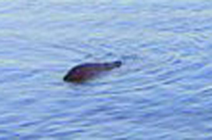 観光船の運転手が撮影したネッシーの拡大写真