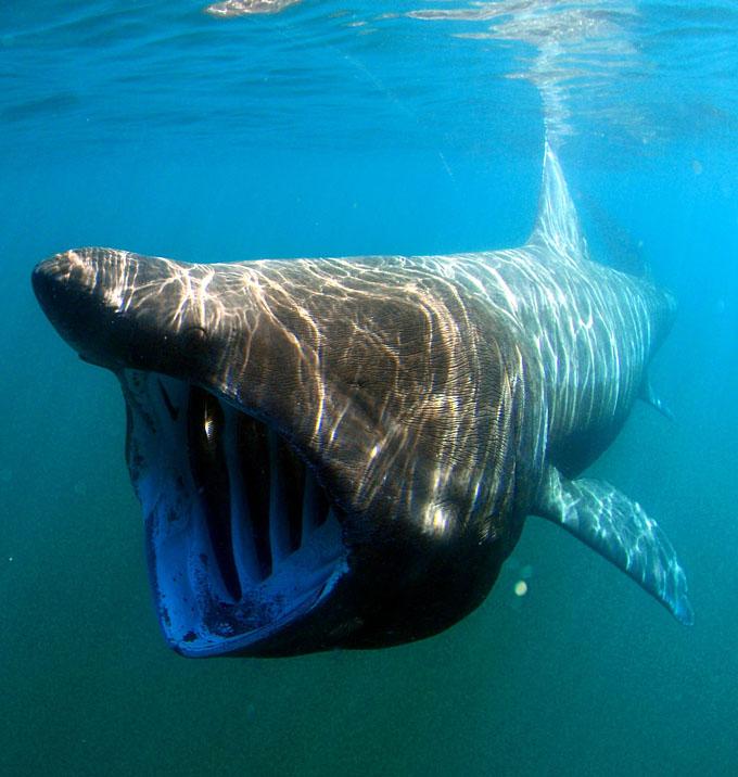 ニューネッシーの正体と思われるウバザメ