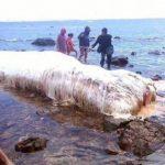 UMAトランコが実在する証拠? フィリピン海岸に巨大生物が打ち上げられた!