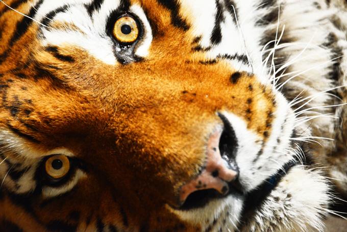 虎の顔のアップ