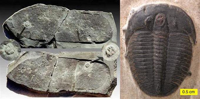 三葉虫を踏んだ足跡の化石