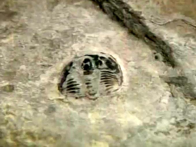 踏み付けられた三葉虫の化石